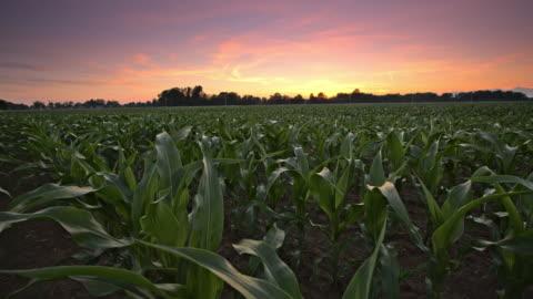 vídeos y material grabado en eventos de stock de candid de ds la foto de un campo de maíz al amanecer - maíz zea