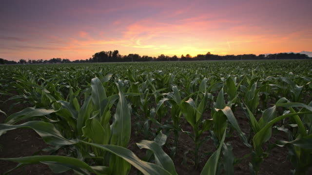 ds candid shot of a corn field at sunrise - corn cob stock videos & royalty-free footage