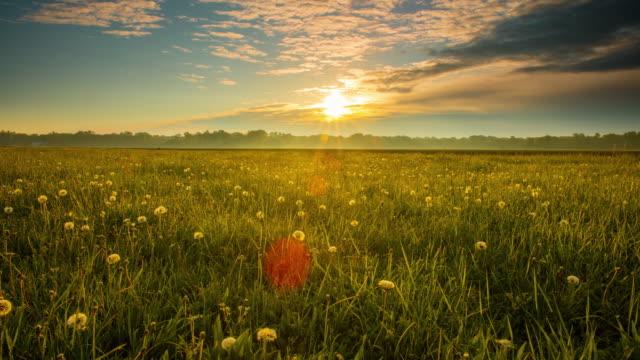8K T/L Candid shot of white dandelions at sunrise