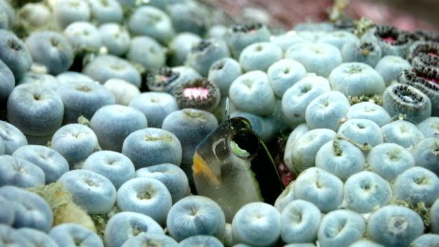 Candy house-Schleimfisch verstecken in das Loch