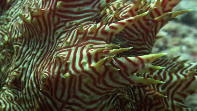 candycane sea cucumber (thelenota rubralineata) on coral reef, west papua, indonesia - striped stock videos & royalty-free footage