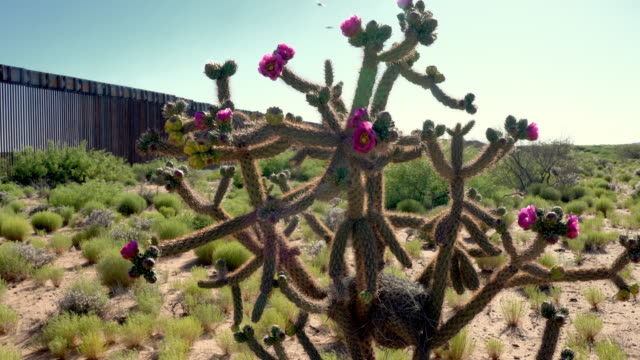 a cane cholla with beautiful magenta blooms, in the new mexico desert with the border wall in the background - international border stock videos & royalty-free footage