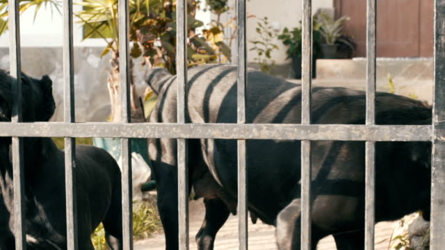 cane corso-familie - welpe stock-videos und b-roll-filmmaterial