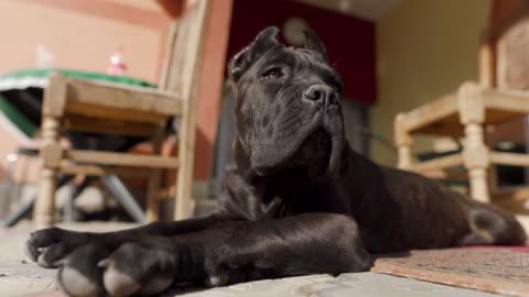 cane corso puppy enjoying the sun - animal body part stock videos & royalty-free footage