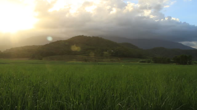 cane fields - sugar cane stock videos & royalty-free footage