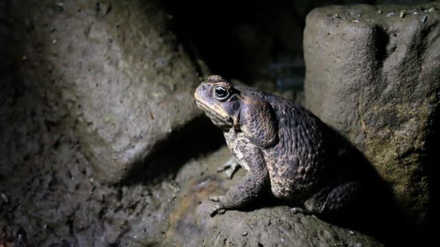 Cane Toad in a dark cave
