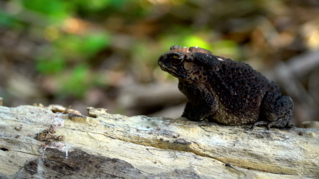 cane toad on old timber.close up shot. - digital enhancement stock videos & royalty-free footage