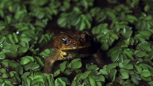 vídeos de stock e filmes b-roll de cane toad on pond - sapo