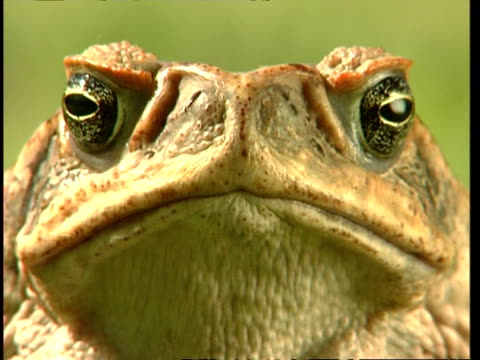 BCU Cane toad staring, to camera