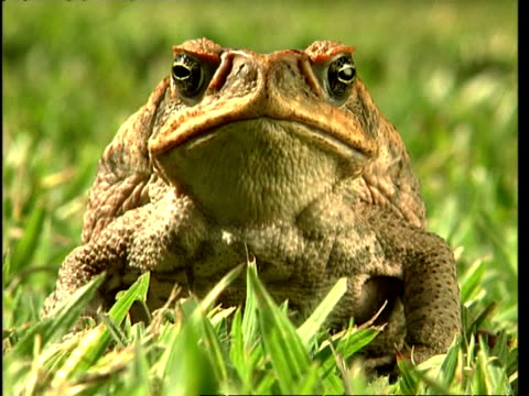 CU Cane toad to camera
