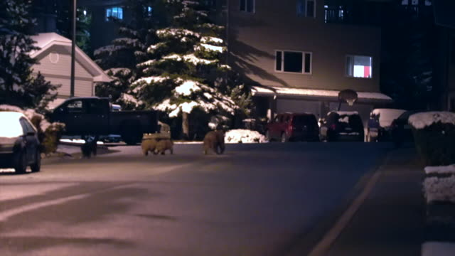 Canmore Alberta Canada A black bear with 3 cubs walking the streets looking for food as winter hits