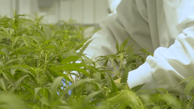 cannabis farm quality control - marijuana herbal cannabis stock videos & royalty-free footage