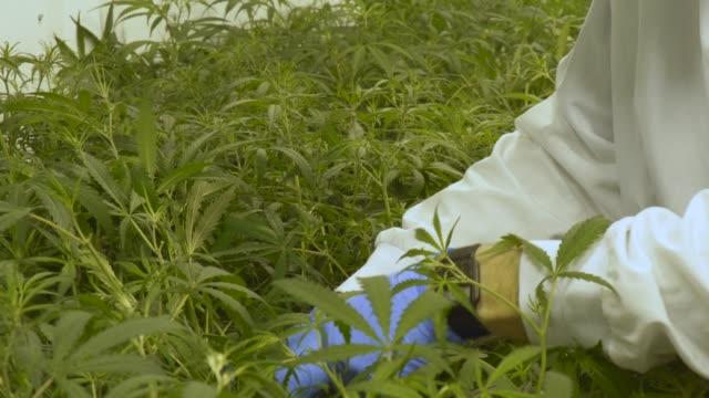 vídeos y material grabado en eventos de stock de el control de calidad de cannabis farm - marihuana hierba de cannabis