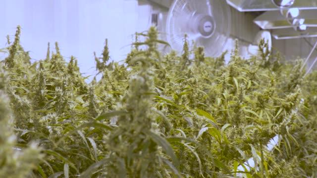 vídeos de stock e filmes b-roll de cannabis farm - indústria petrolífera