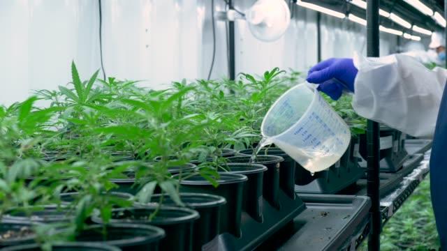 cannabis farmer watering plants - marijuana herbal cannabis stock videos & royalty-free footage