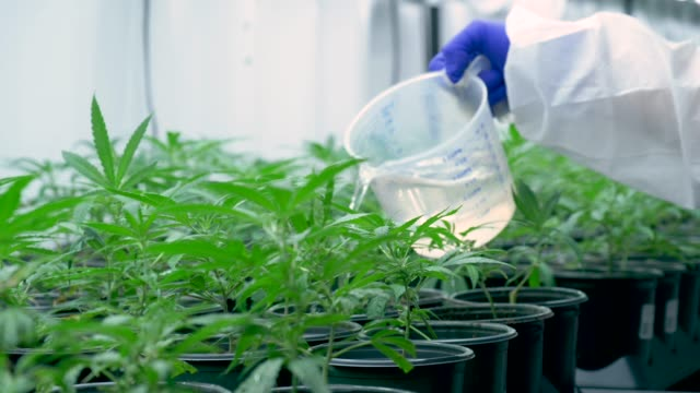 cannabis farmer watering plants - legalisation stock videos & royalty-free footage
