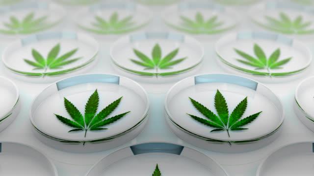 cannabis leaves - marijuana herbal cannabis stock videos & royalty-free footage