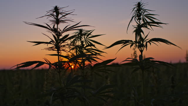 cannabis plants at dawn - herb stock videos & royalty-free footage