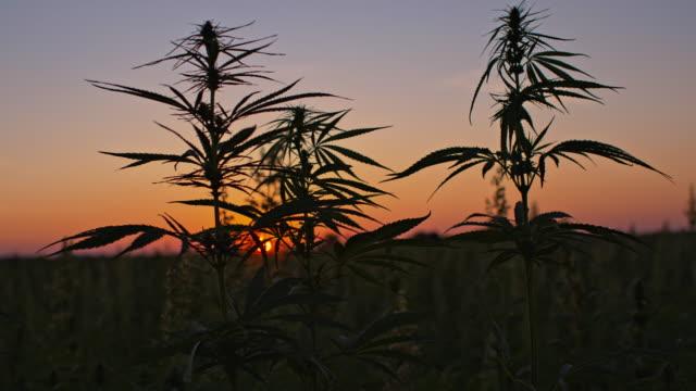 cannabis plants at dawn - marijuana herbal cannabis stock videos and b-roll footage