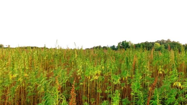 cannabis - marijuana herbal cannabis stock videos and b-roll footage