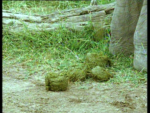 Cannonball sized pieces of elephant dung drop to ground.