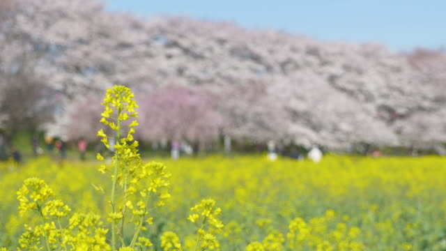 vídeos y material grabado en eventos de stock de canola blossoms swaying in the wind with cherry blossoms in the background (rack focus/panning) - rack focus