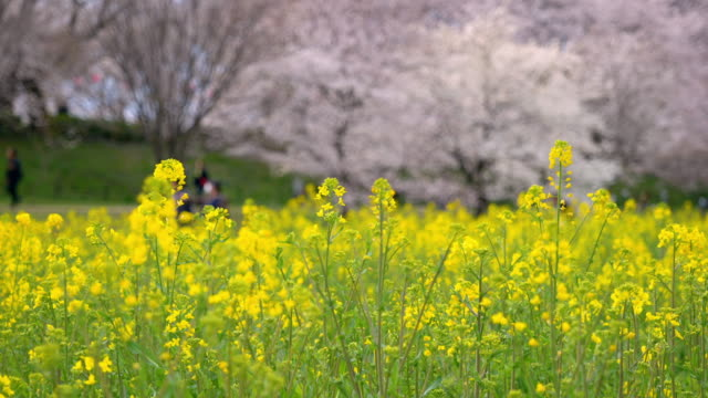 canola blossoms swaying in the wind with defocused cherry blossoms in the background (zoom in) - saitama city stock videos & royalty-free footage