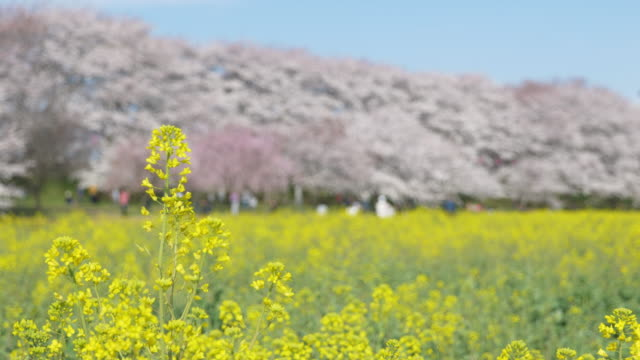 canola blossoms swaying in the wind with defocused cherry blossoms in the background - saitama city stock videos & royalty-free footage