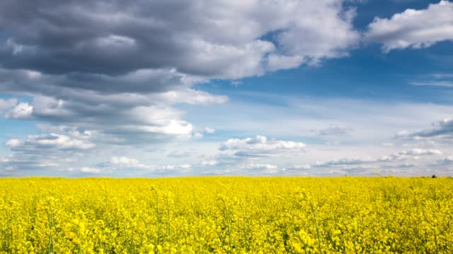 canola field. 4k timelapse. - sequential series stock videos & royalty-free footage