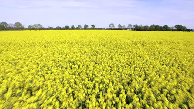 canola field aerial - schleswig holstein stock videos & royalty-free footage