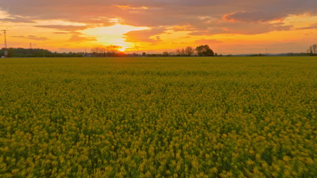 AERIAL Canola field at dusk