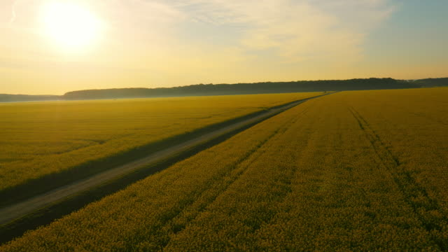 aerial canola field at sunset - canola stock videos and b-roll footage