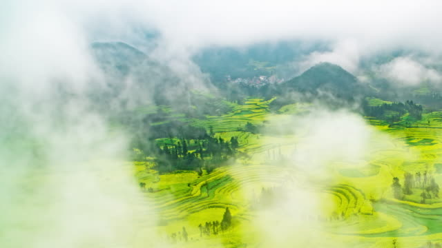 Canola field or Rapeseed flower field in Luoping China