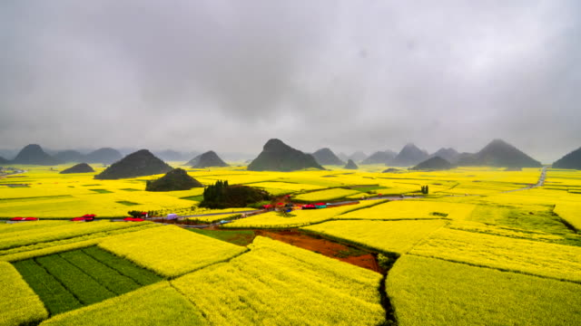 canola field, rapeseed flower field with the mist in luoping - canola stock videos and b-roll footage