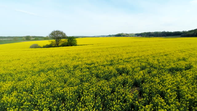 HD HELI: Canola Field With Surrounding Countryside