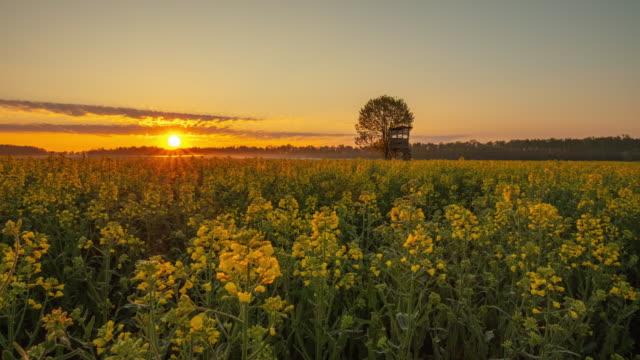 日の出の田舎のt/lキャノーラ畑 - 季節点の映像素材/bロール