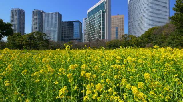 vidéos et rushes de canola flower and buildings at hama-rikyu gardens moving slider shot - vie citadine
