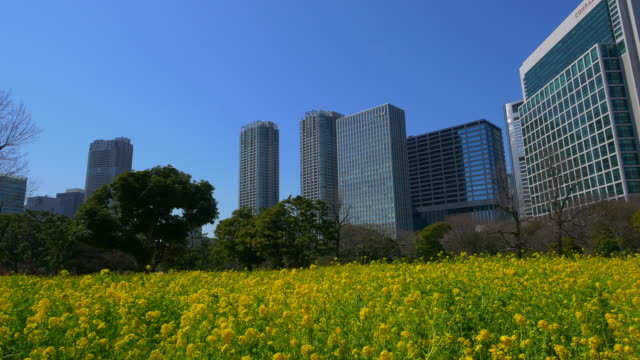 Canola flower and buildings at Hama-rikyu Gardens moving up shot