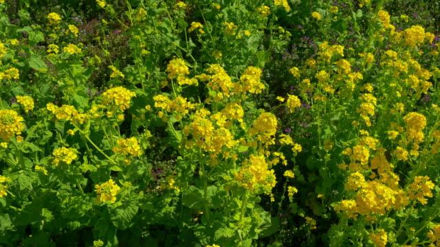 vídeos de stock e filmes b-roll de canola flower at hama-rikyu gardens moving slider shot - crucifers