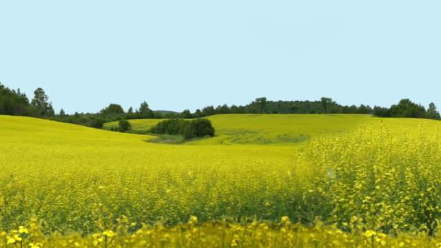 Canola Flower Field 4K Background