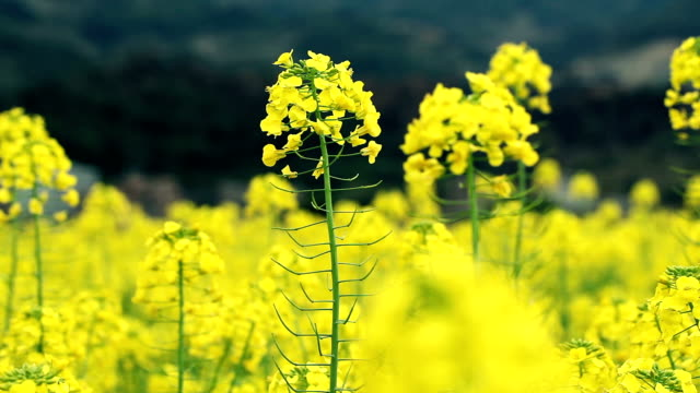 canola flowers - crucifers stock videos & royalty-free footage