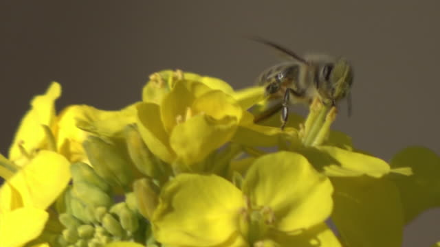cu, canola flowers with a bee, kanagawa, japan - gelb stock-videos und b-roll-filmmaterial