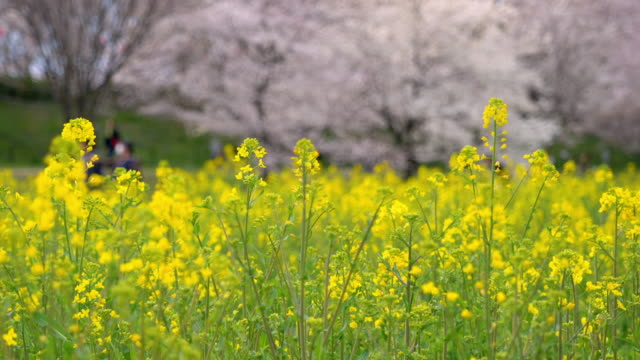 canola flowers with defocused cherry blossoms in the background (panning) - saitama city stock videos & royalty-free footage