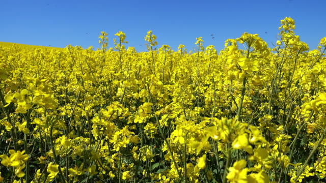 canola - canola stock videos and b-roll footage