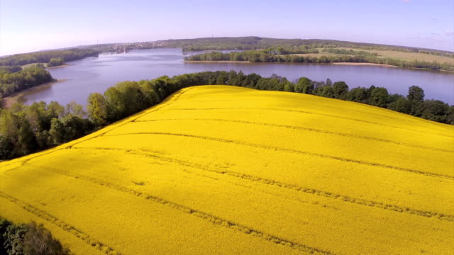 canola yellow field and lake. - canola stock videos and b-roll footage