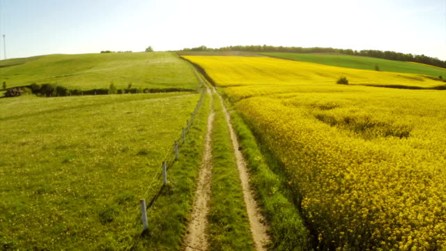 Canola Yellow field landscape with road.
