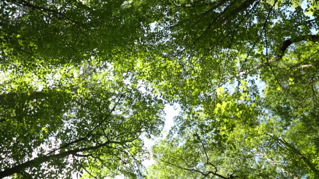 A canopy of trees with wind blowing through them in the middle of the day.