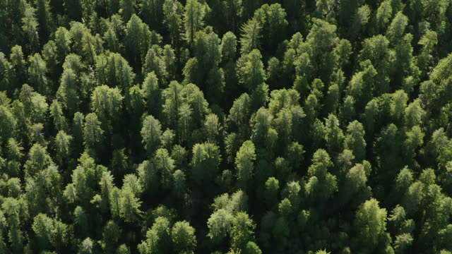 vídeos de stock e filmes b-roll de canopy view of a forest of redwood trees in humboldt redwoods state park, aerial view. - coniferous