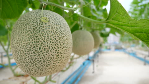 cantaloupe melon in organic smart farm - plant stem stock videos & royalty-free footage