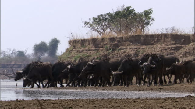 vidéos et rushes de cape buffalo (syncerus caffer) approach river, luangwa, zambia - plan d'eau